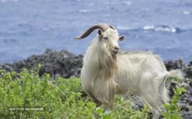 Australian Cashmere goat