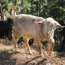 Anglo-Nubian goat